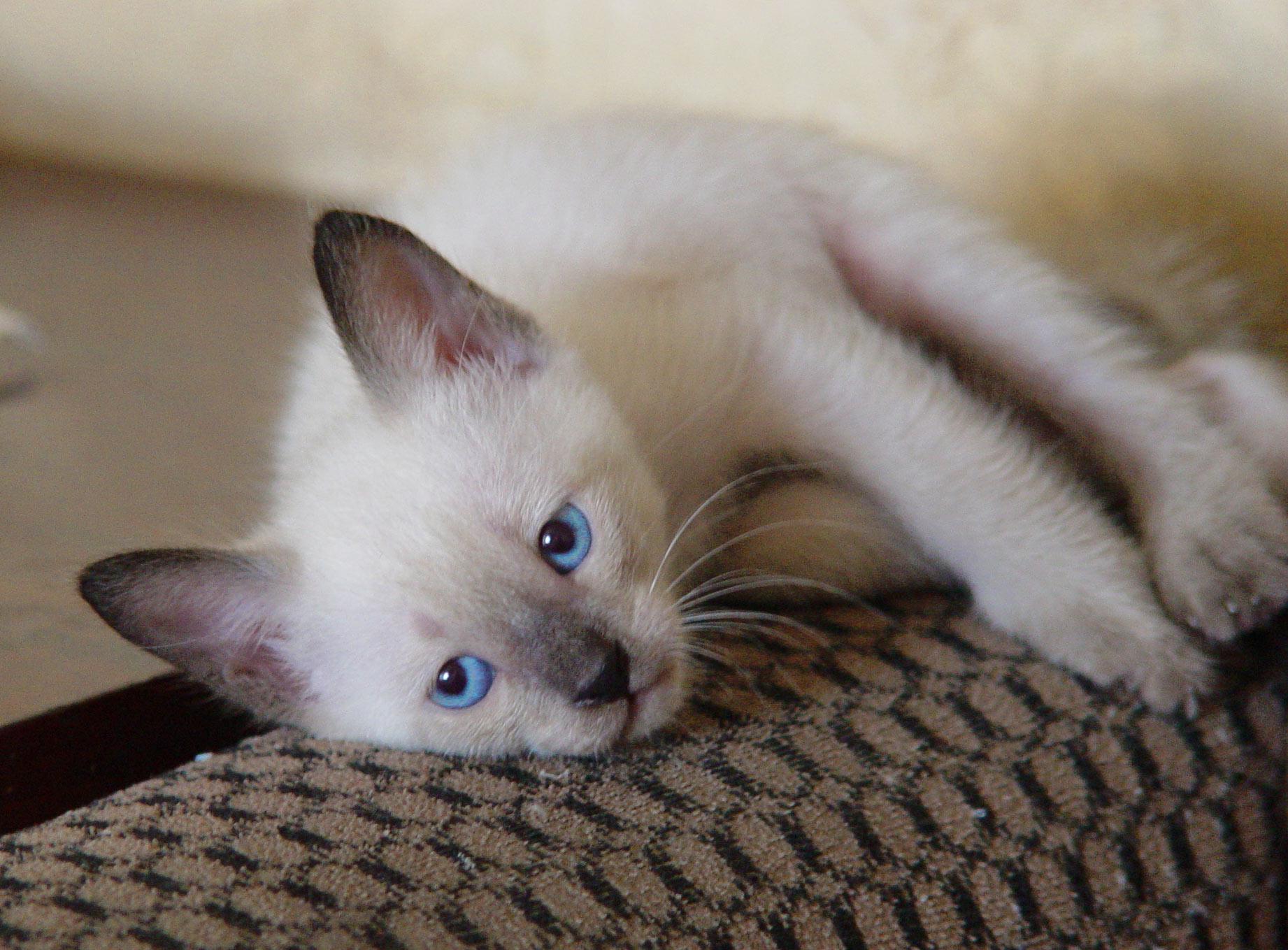 фото сиамская котята